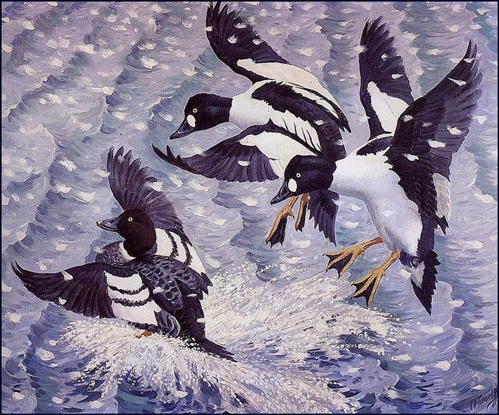 Goldeneye in a Snow Storm - Charles Tunnicliffe