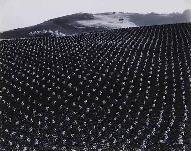 Tomato Field, 1937 - Edward Weston