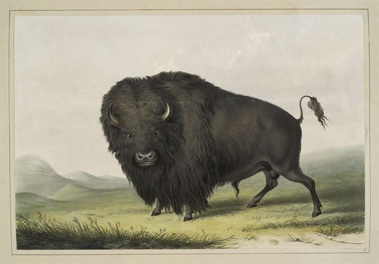Buffalo Bull Grazing, 1845 - George Catlin