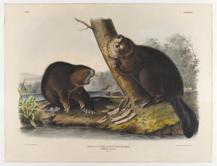 American Beaver, 1844 - Джон Джеймс Одюбон