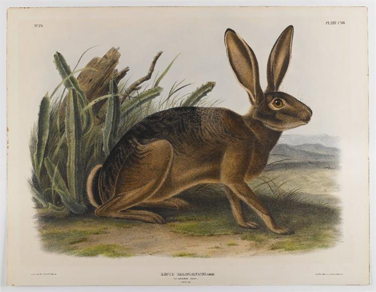 California Hare, 1847 - John James Audubon