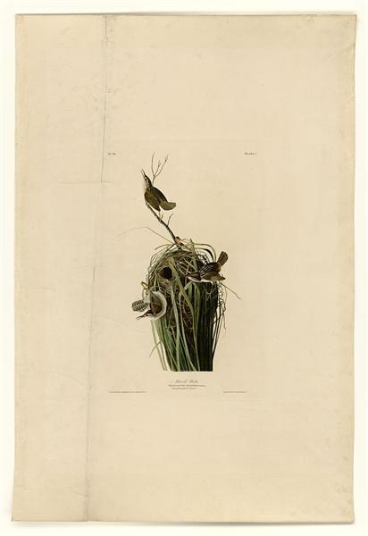 Plate 100 Marsh Wren - John James Audubon