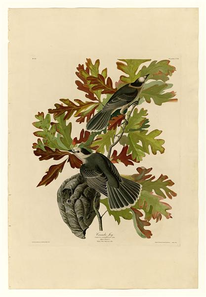 Plate 107 Canada Jay - John James Audubon