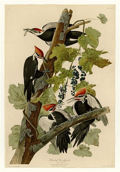 Plate 111 Pileated Woodpecker - John James Audubon