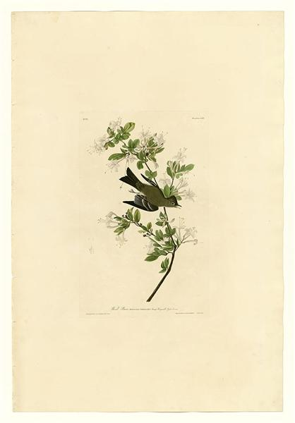 Plate 115 Wood Pewee - John James Audubon