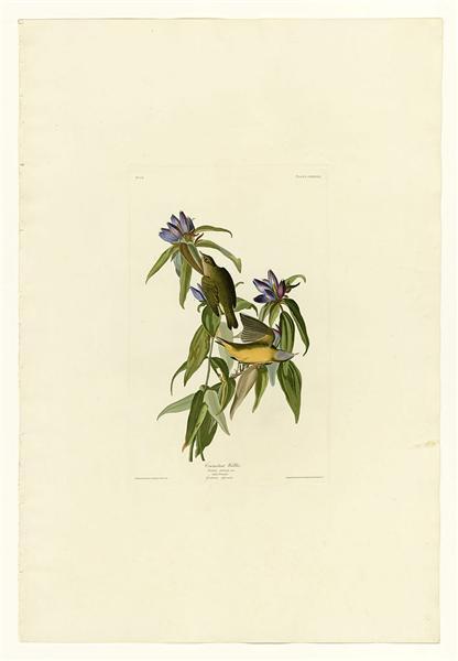 Plate 138 Connecticut Warbler - John James Audubon