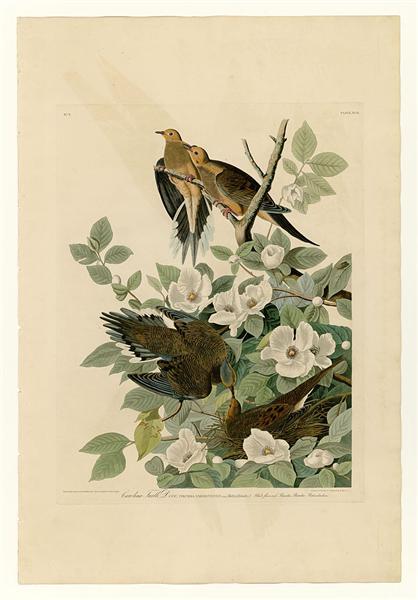 Plate 17. Carolina Turtle Dove - John James Audubon
