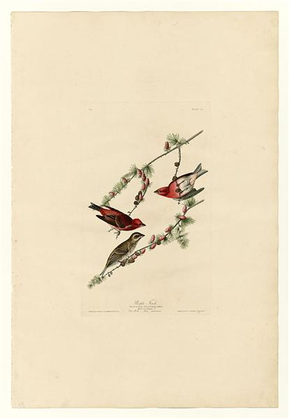 Plate 4. Purple Finch - Джон Джеймс Одюбон
