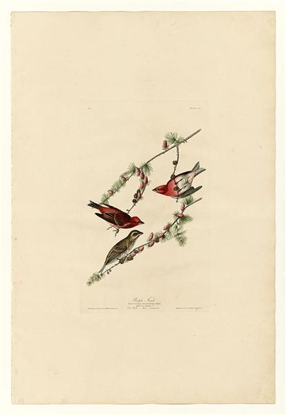 Plate 4. Purple Finch - John James Audubon