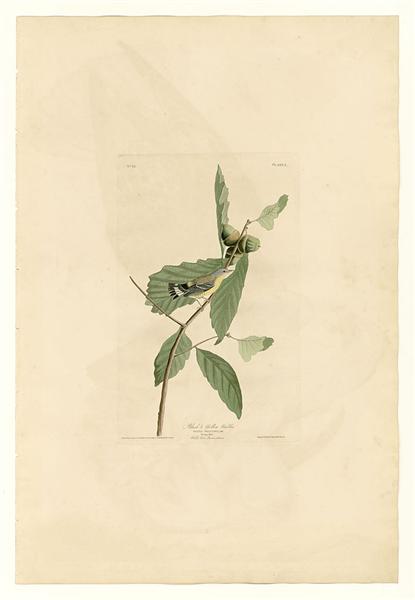Plate 50. Black & Yellow Warbler - John James Audubon