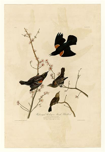Plate 67 Red-winged Starling or Marsh Blackbird - John James Audubon