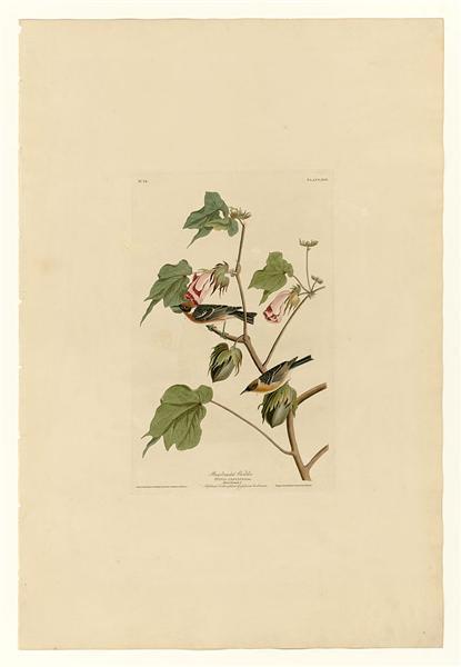 Plate 69 Bay-breasted Warbler - John James Audubon