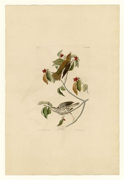 Plate 73 Wood Thrush - John James Audubon