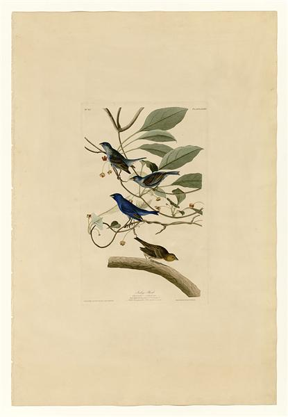 Plate 74 Indigo Bird - 约翰·詹姆斯·奥杜邦