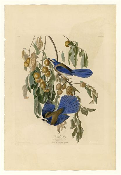 Plate 87 Florida Jay - John James Audubon