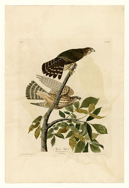 Plate 92 Pigeon Hawk - John James Audubon
