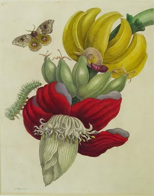 Inflorescence of Banana, 1710 - Maria Sibylla Merian