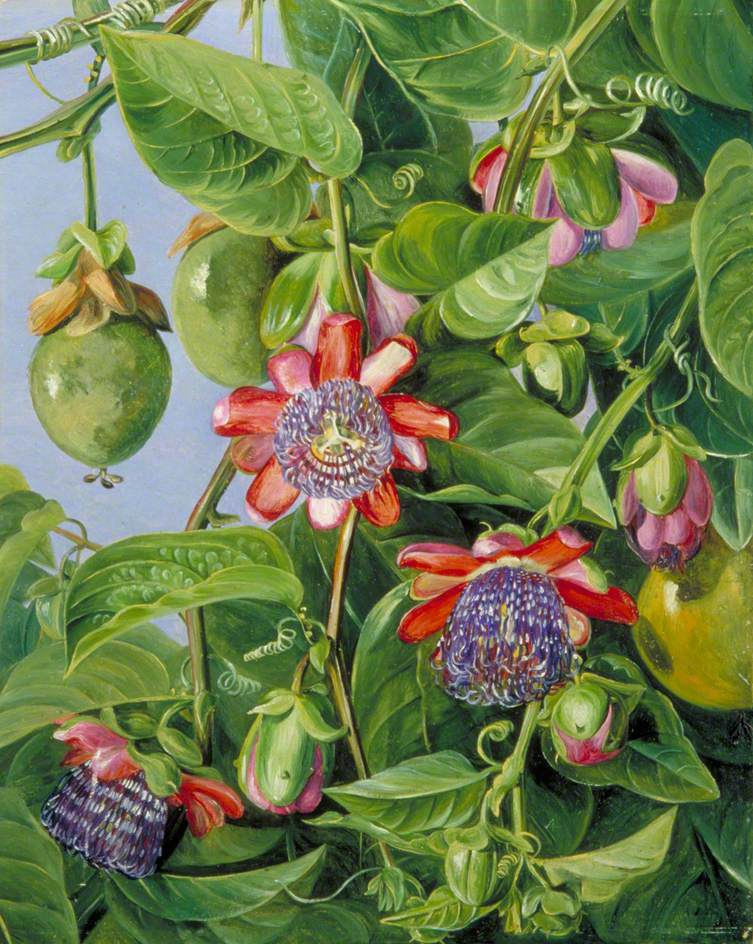 Flowers And Fruit Of The Maricojas Passion Flower Brazil