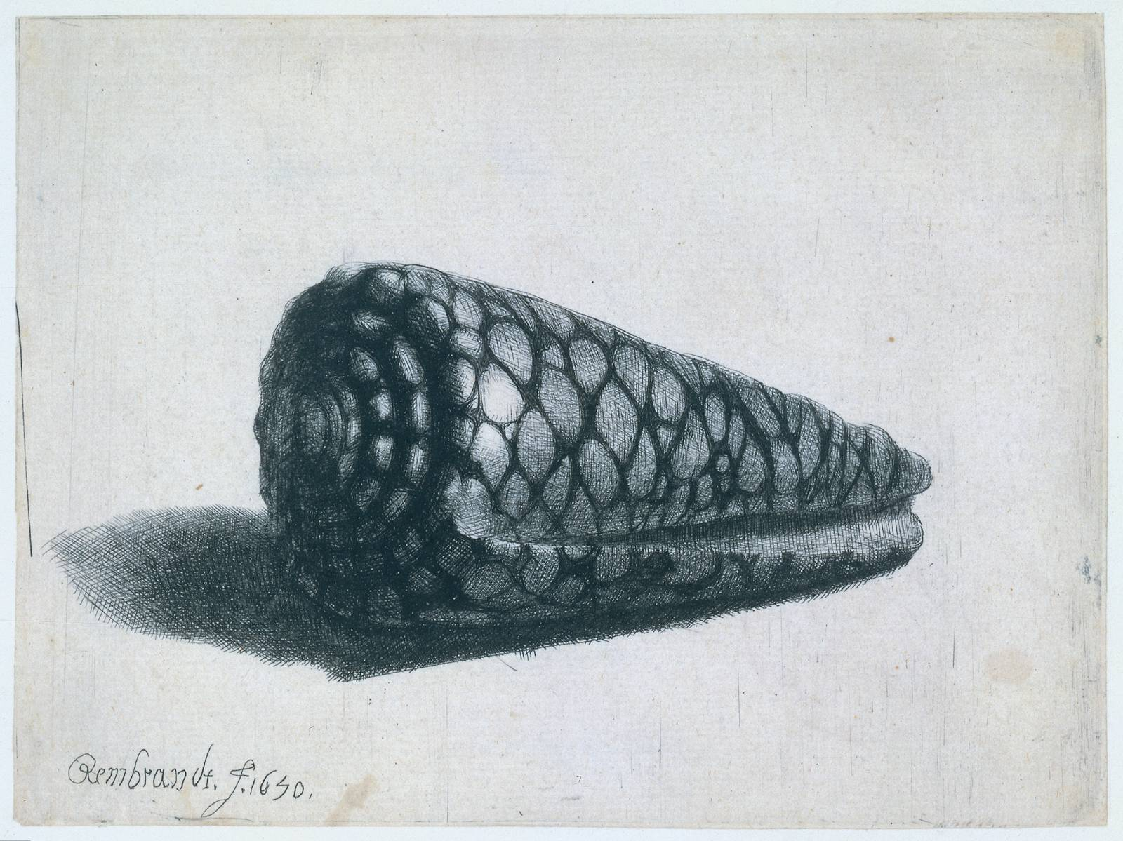 Rembrandt Exhibition Shell : The shell conus marmoreus rembrandt wikiart